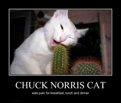 chat-de-chuck-norris-mange-des-cactus